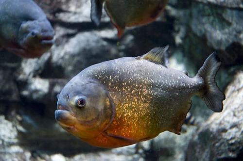Piranha - Frightening Little Fish