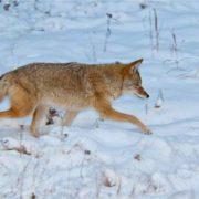 Pretty coyote
