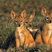 Pretty jackals