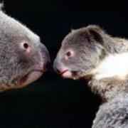 Pretty koalas
