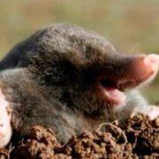 Pretty mole