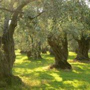 Pretty olive