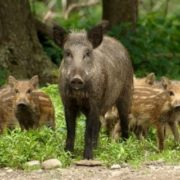 Pretty pigs