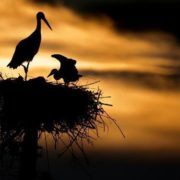 Pretty storks