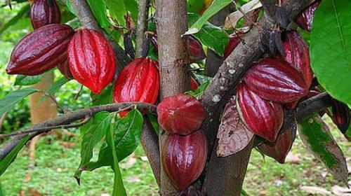 Red cacao tree pods