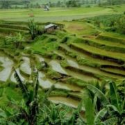 Rice slopes in Western Sumatra