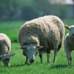 Sheep – Follow the Leader