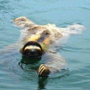 Sloth is swimming