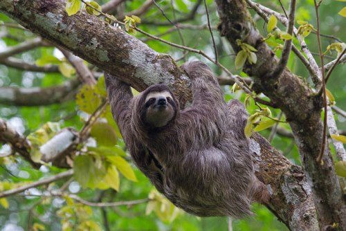 Sloth - slow-moving mammal