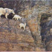 Snow goats on steep mountain slopes