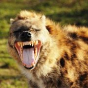Stong jaws of hyena