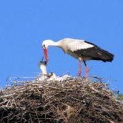 Stork is feeding babies
