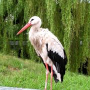 Stork on the road