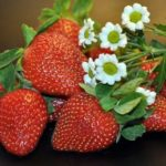 Strawberry – Luscious Dessert Fruit