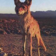 Stunning coyote