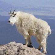 Stunning goat