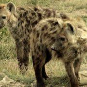 Stunning hyena