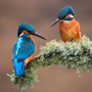 Stunning kingfishers