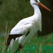 Stunning stork