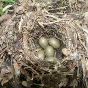 The nest of nightingale