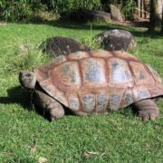 The weight of the aldabra giant tortoise exceeds 250 kg