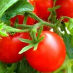Tomato – Vegetable or Fruit?