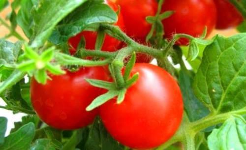 Tomato - Vegetable or Fruit