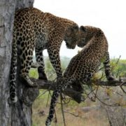 Two leopards in the tree