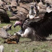 Vultures vs jackal