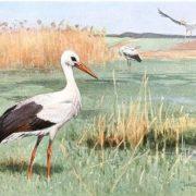 White Stork Brehm