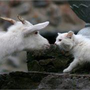 White cat vs white goat