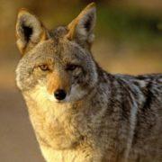 Wonderful coyote