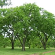 Wonderful elm