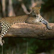 Wonderful leopard