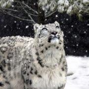 Wonderful snow leopard