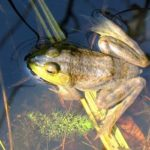 Amphibians – Land-and-Water Dwellers