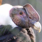 Awesome condor