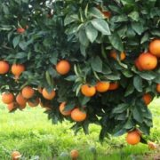 Awesome orange tree