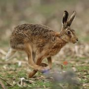 Hare is running