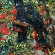 Heidi Willis Black Cockatoo and Stenocarpus