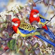 Heidi Willis. Eastern Rosellas