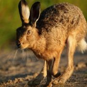 Interesting hare