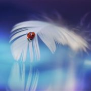Ladybug on a feather