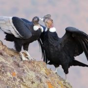 Magnificent condor