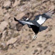 Stunning condor