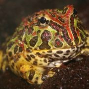 Surinam horned frog