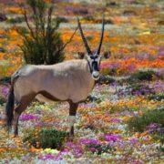 Wonderful flowers of Namaqualand