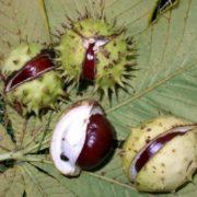 Amazing chestnuts