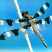 Attractive dragonfly