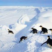 Attractive penguins